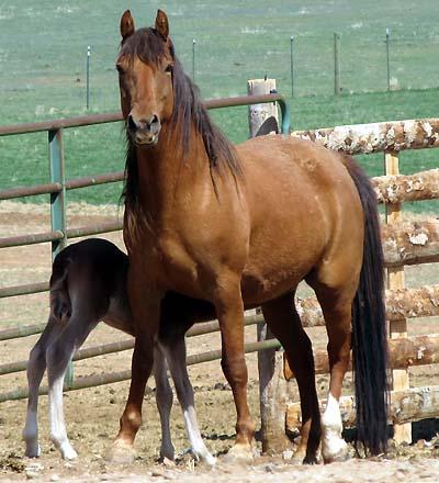Mare feeding foal