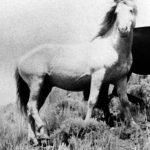 Chingadero (Ketchum x Haager) 1953 smoky cream stallion