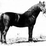 Flyhawk Go Hawk x Florette) 1926 black stallion