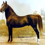 Red Vermont (Jubilee King x Daisy Knox) 1934 chestnut stallion