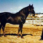 Stetson (Flyhawk x Sentola) 1944 chestnut stallion