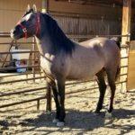 A haltered Sliver Stallion